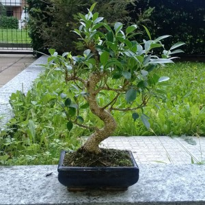 Bonsai: Ficus Benjamin